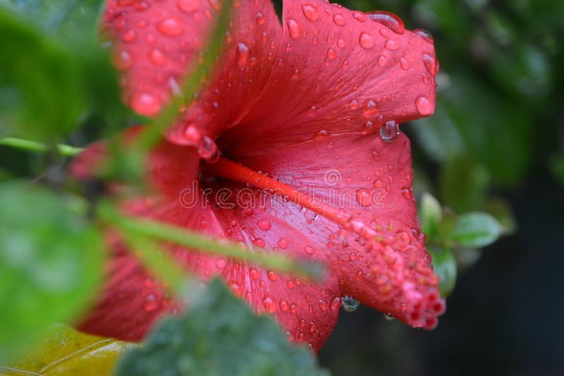 Flower after the rain with water droplets stock images
