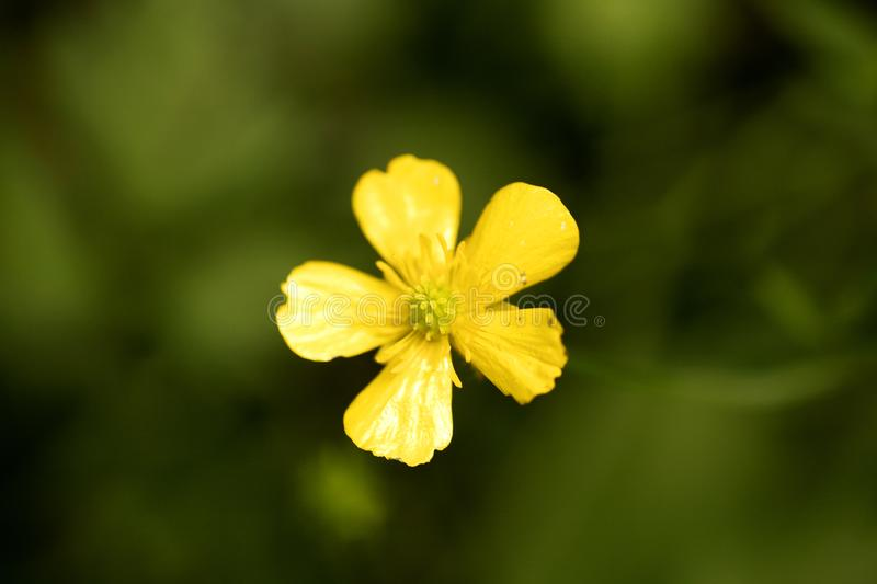 Flower ranunculus repens or creeping buttercup Ranunculaceae family macro background fine art in high quality prints products. Fifty megapixels prints stock photography