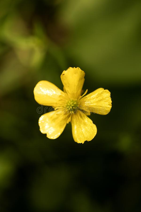 Flower ranunculus repens or creeping buttercup Ranunculaceae family macro background fine art in high quality prints products. Fifty megapixels prints royalty free stock photo