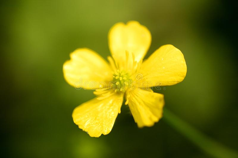 Flower ranunculus repens or creeping buttercup Ranunculaceae family macro background fine art in high quality prints products. Fifty megapixels prints royalty free stock photography