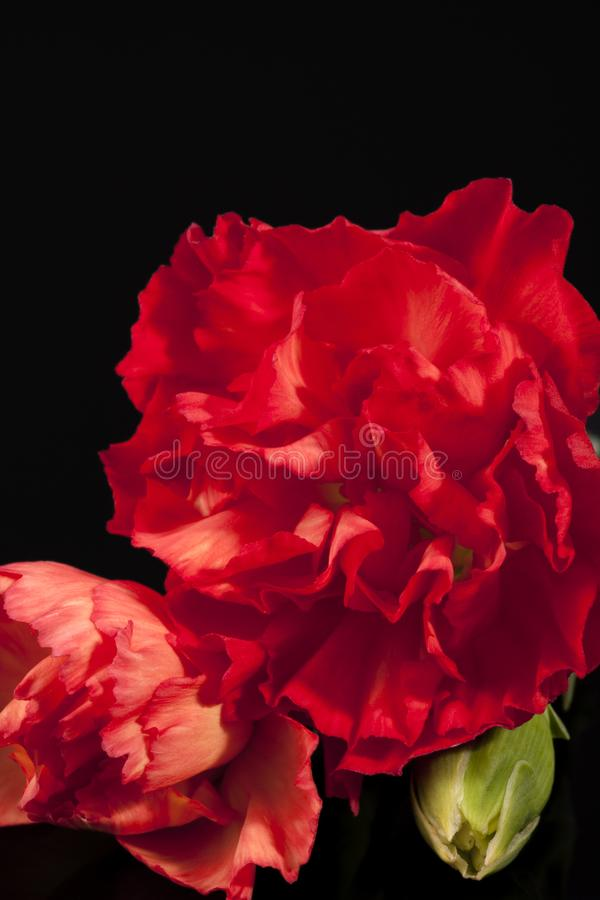 Flower of red carnation Dianthus caryophyllus isolated on black background royalty free stock photography
