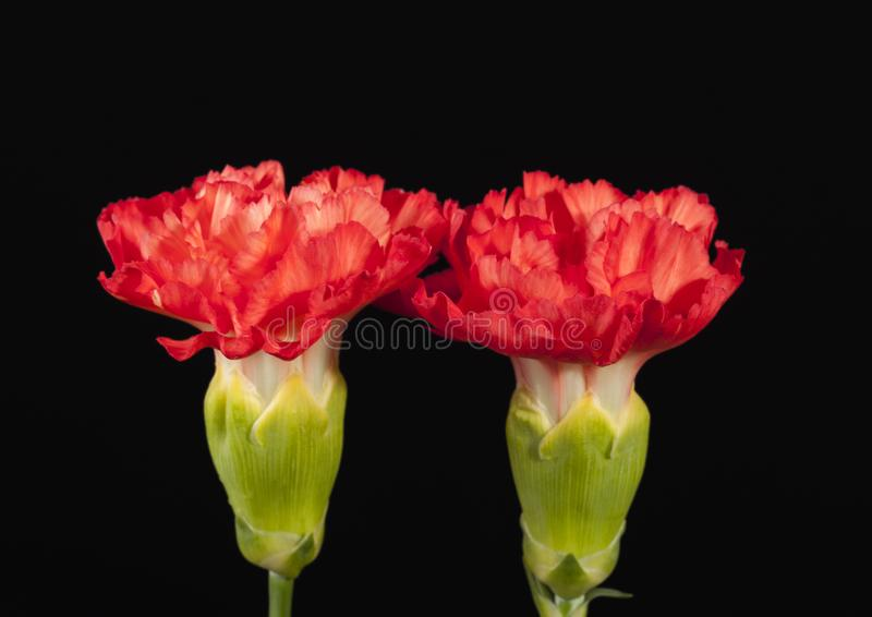 Flower of red carnation Dianthus caryophyllus isolated on black background. Flower of red carnation Dianthus caryophyllus isolated on black background stock photography