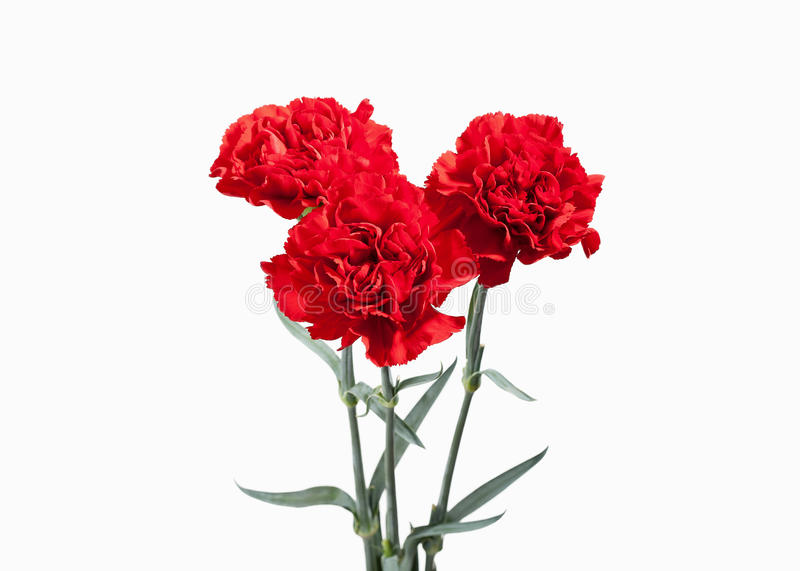 Flower. Red carnations bouquet isolated on white background stock photos