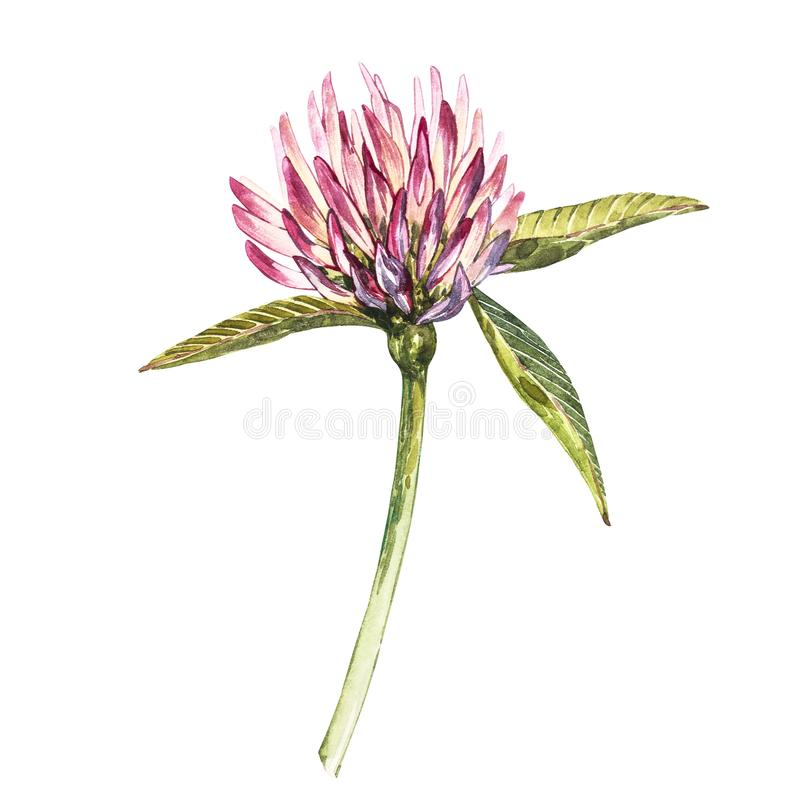 Flower of red clover with leaves. Watercolor botanical illustration isolated on white background. Happy Saint Patricks. Day stock photography