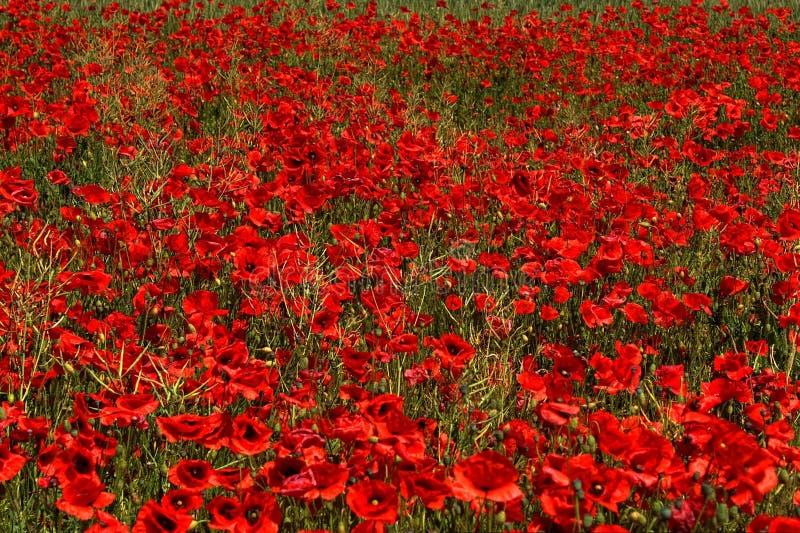 Flower, Red, Field, Wildflower stock image
