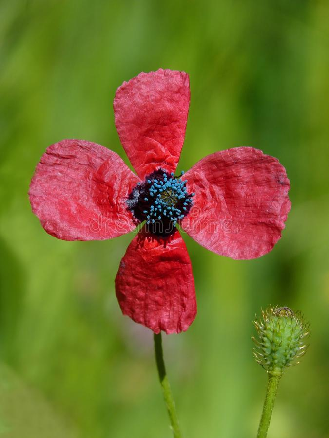 Flower, Red, Flora, Wildflower royalty free stock image