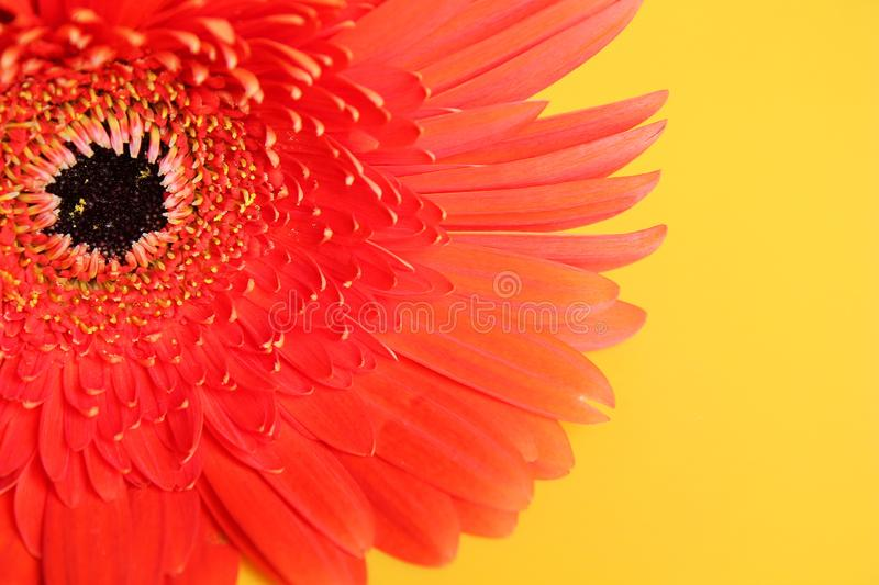 Flower red gerbera closeup. Natural condition. And form stock photo