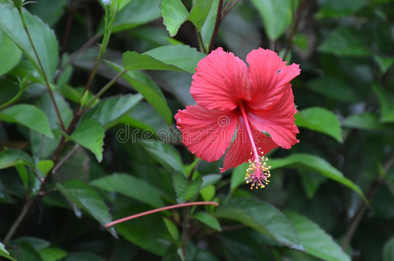 Flower of red hibiscus or wild rose on a bush on a blurred green background stock images