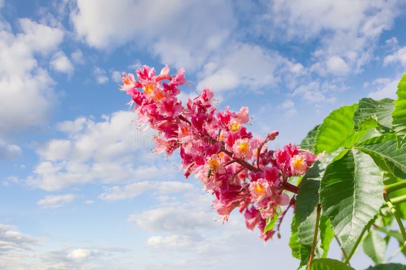 Flower of red horse-chestnut against the sky with clouds. Panicle with flowers of red horse-chestnut against the sky with clouds stock images