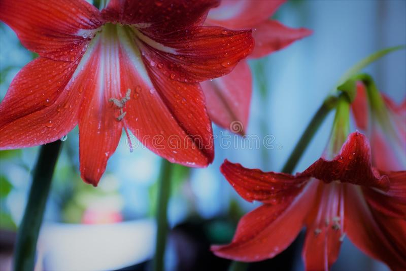 A flower of a red lily on a background of plants and other flowers royalty free stock image
