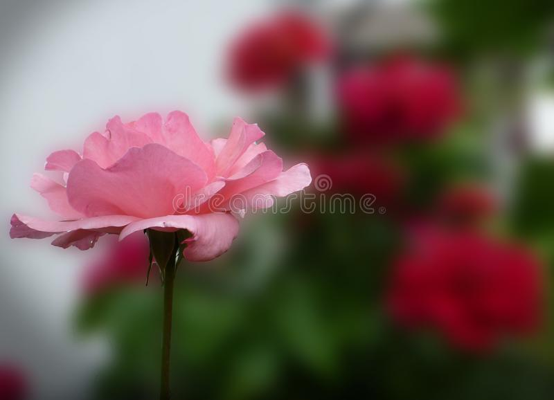 Flower, Red, Pink, Rose Family stock image