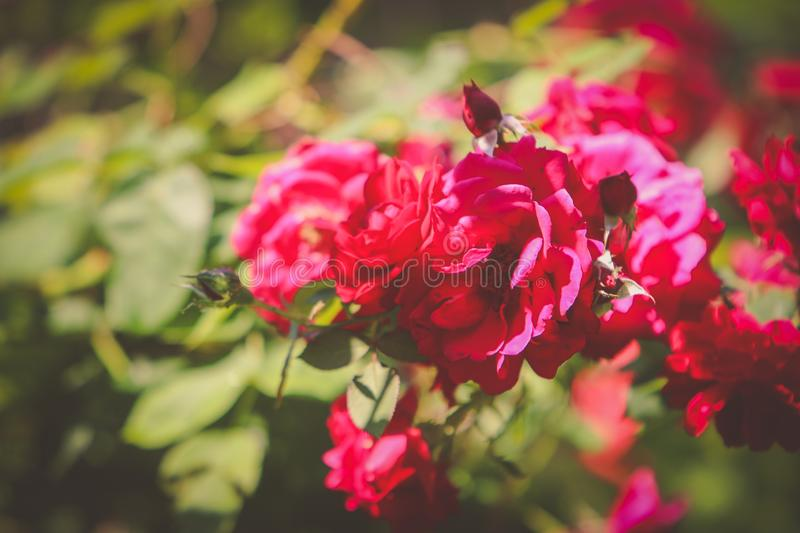 Flower, Red, Pink, Rose Family Free Public Domain Cc0 Image