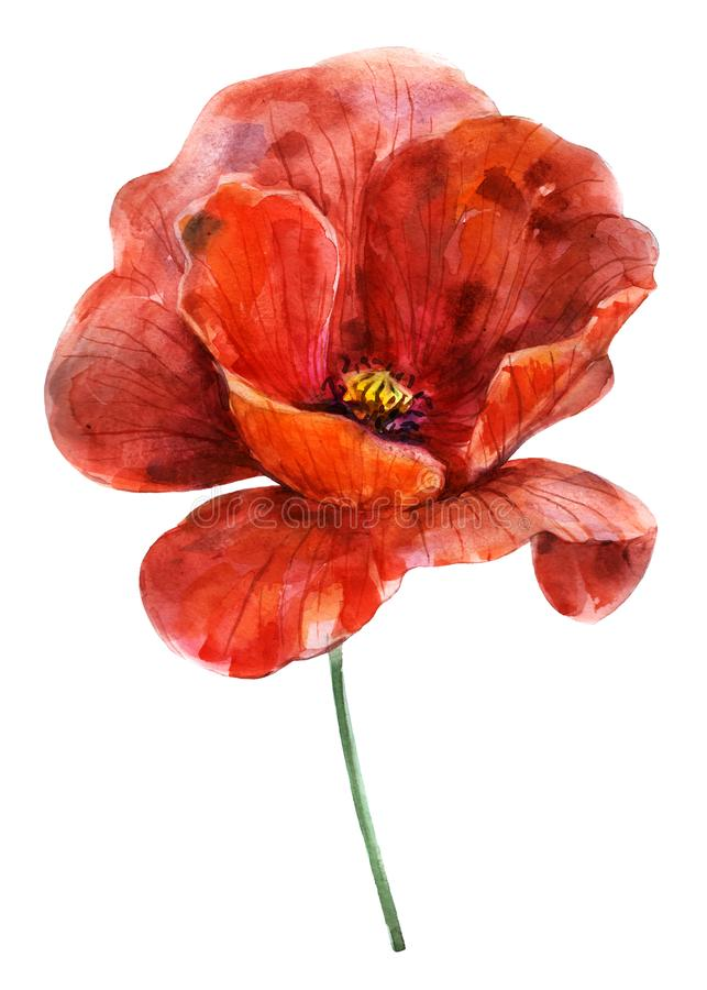 Flower red poppy. Watercolor hand drawn illustration. Object isolated on white background. Element for cards, holidays, weddings royalty free stock photos