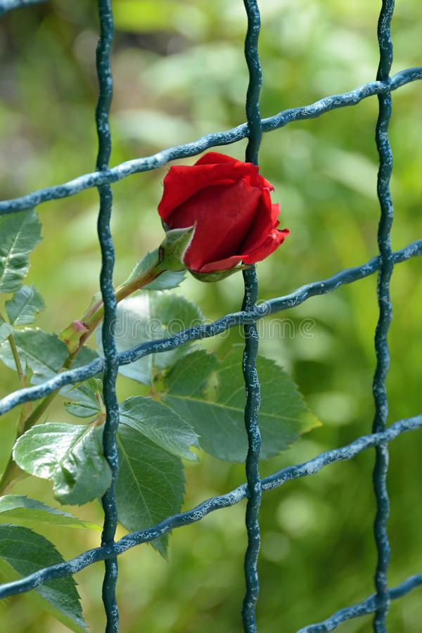 Flower of red rose behind the fence. royalty free stock image