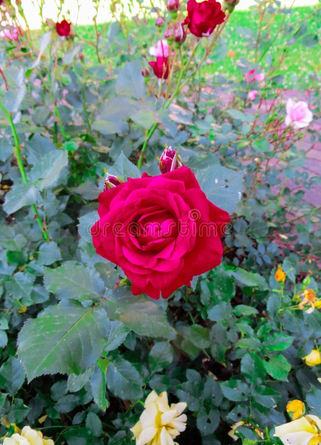 A flower of a red rose on a branch in the garden stock images