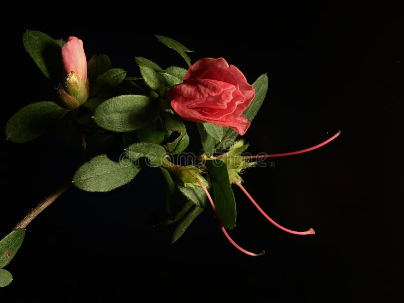 Flower, Red, Rose Family, Pink Free Public Domain Cc0 Image