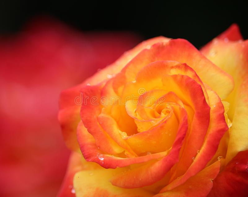 Flower, Red, Rose, Yellow stock photography