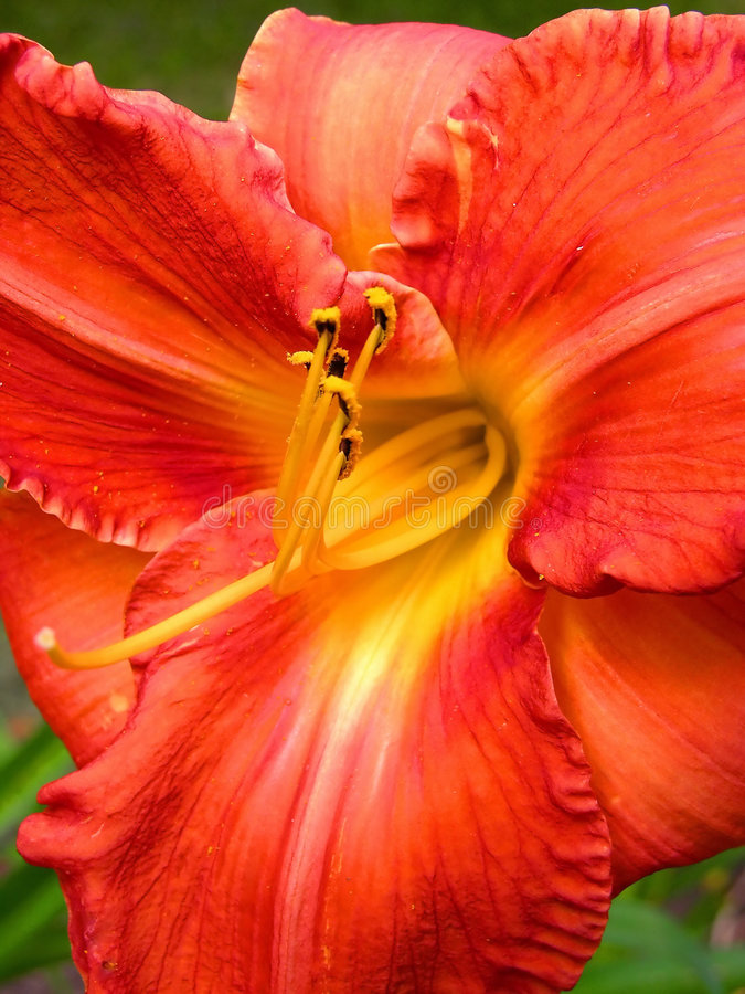 Flower red yellow lily. Pollen stock image