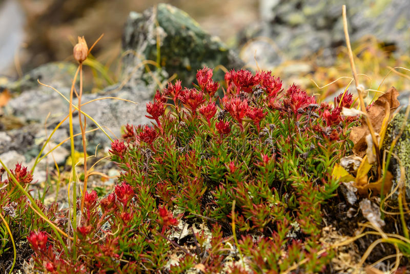 Flower Rhodiola rosea roseroot mountains stock photo