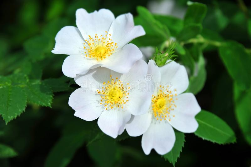 Rosa odorata flower royalty free stock photography
