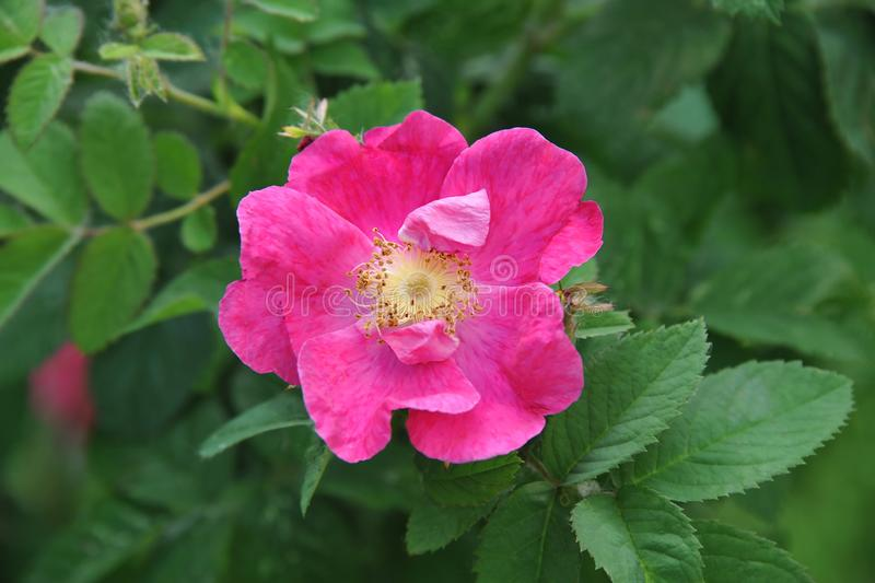 Rosa odorata flower stock photos