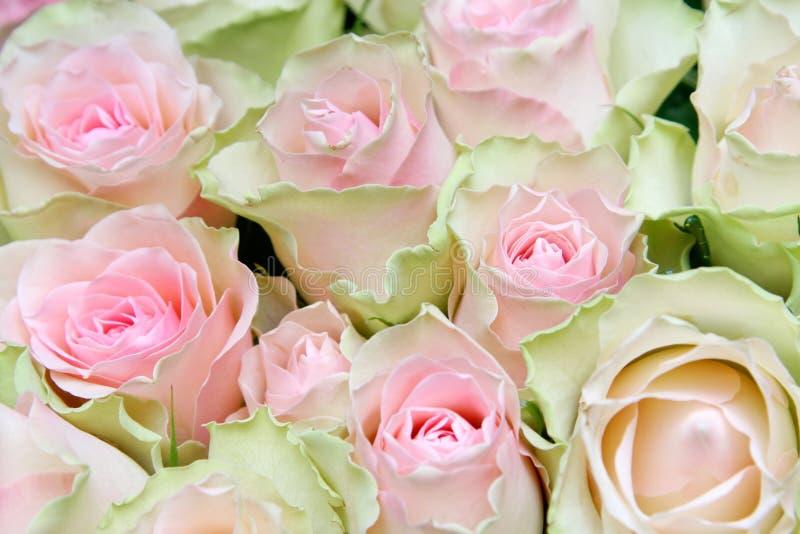 Download Flower rose background stock image. Image of cream, blossom - 2347201