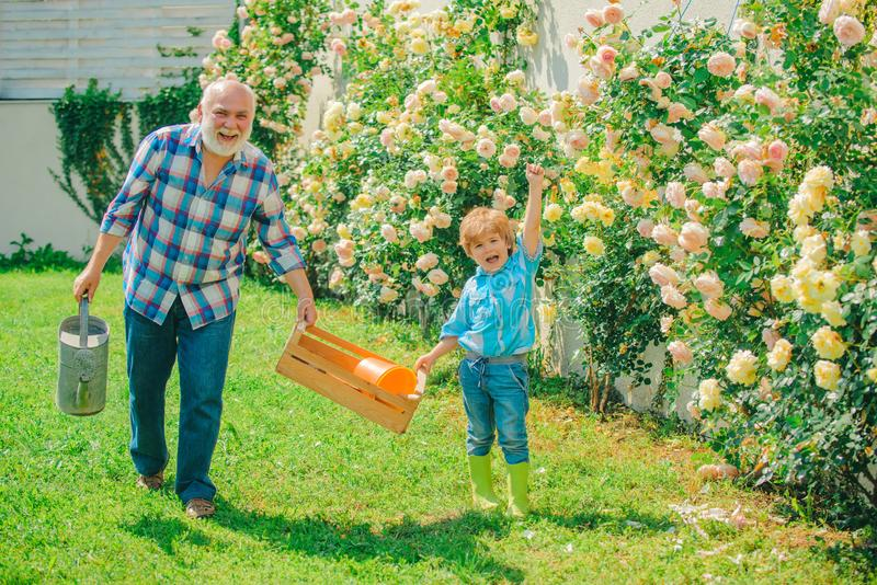 Flower rose care and watering. Grandfather with grandson gardening together. Child are in the garden watering the rose stock image