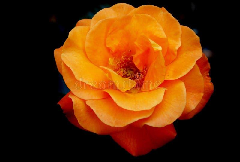 Flower, Rose, Rose Family, Orange stock photos