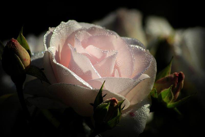 Flower, Rose Family, Rose, Pink royalty free stock images