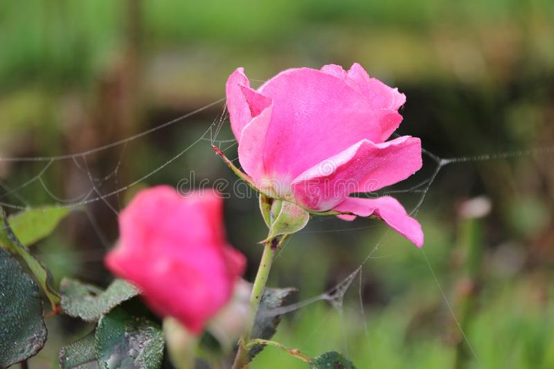 Flower, Rose Family, Pink, Rose royalty free stock photo