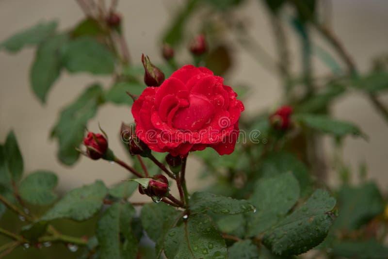 Flower, Rose Family, Rose, Flowering Plant Free Public Domain Cc0 Image