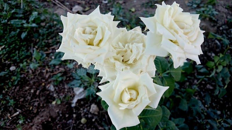 Flower, Rose Family, Rose, Plant Free Public Domain Cc0 Image
