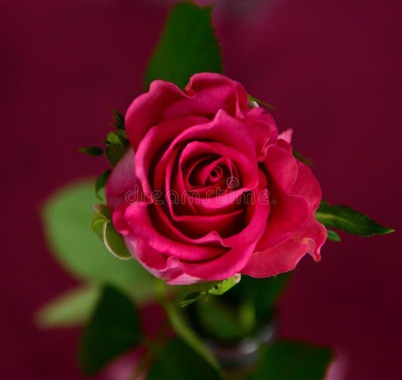 Flower, Rose, Garden Roses, Pink royalty free stock image