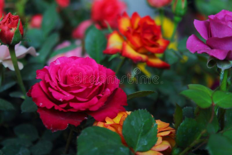 Flower of the rose, with large heart-shaped petals, spines on the stem, bright and varied colors white, pink, red, etc. and an i. Part of the flowering plants stock image