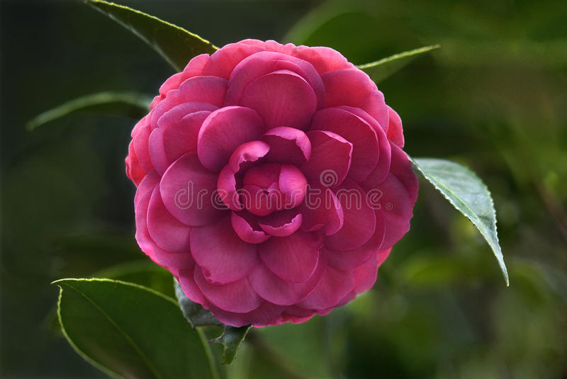 Flower- Rose- petals and patterns. Flowers- Rose- flower with petals and patterns- Genus of shrubs of the rose family with prickly stems, pinnate leaves and royalty free stock images