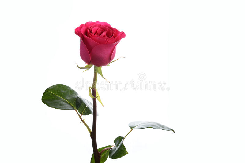 Flower a rose pink Floyd royalty free stock image