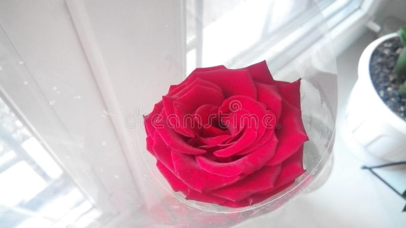 Flower rose royalty free stock photography