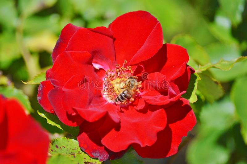 Flower, Rose, Rose Family, Floribunda Free Public Domain Cc0 Image