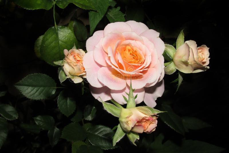 Flower, Rose, Rose Family, Flowering Plant Free Public Domain Cc0 Image