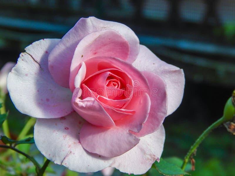 Flower, Rose, Rose Family, Pink Free Public Domain Cc0 Image