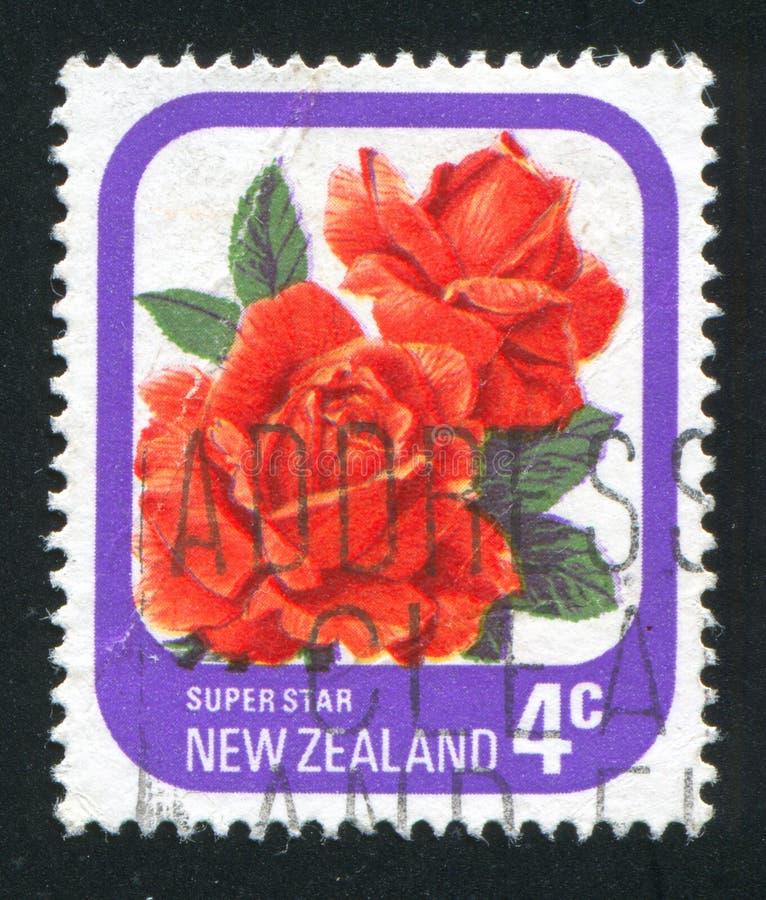 Flower Rose Super Star royalty free stock photos