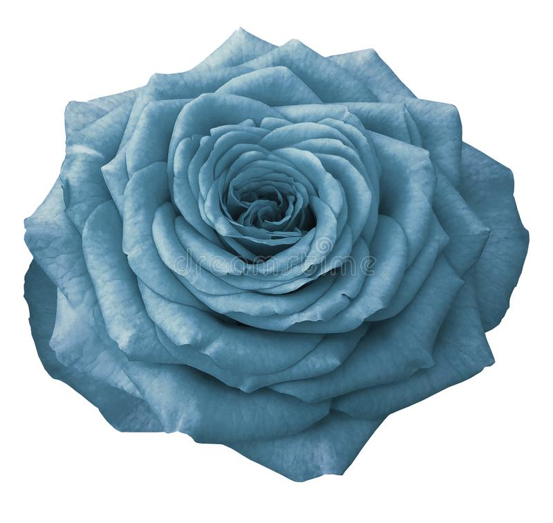 Flower rose , white isolated background with clipping path. Turquoise Rose on a white isolated background with clipping path. Closeup. No shadows. Nature royalty free stock images