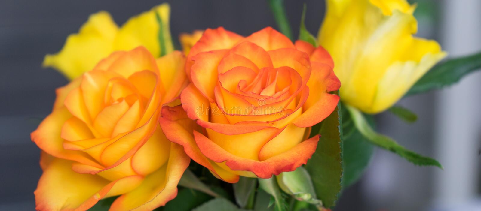 Flower, Rose, Yellow, Rose Family stock images