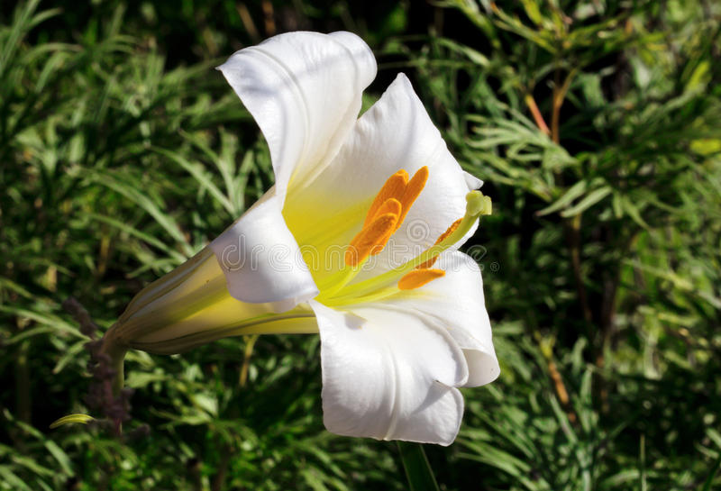 Flower Royal Lily white stock image