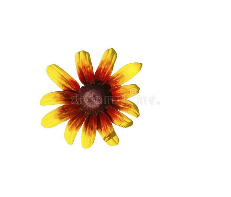 Flower rudbeckia on a white background royalty free illustration