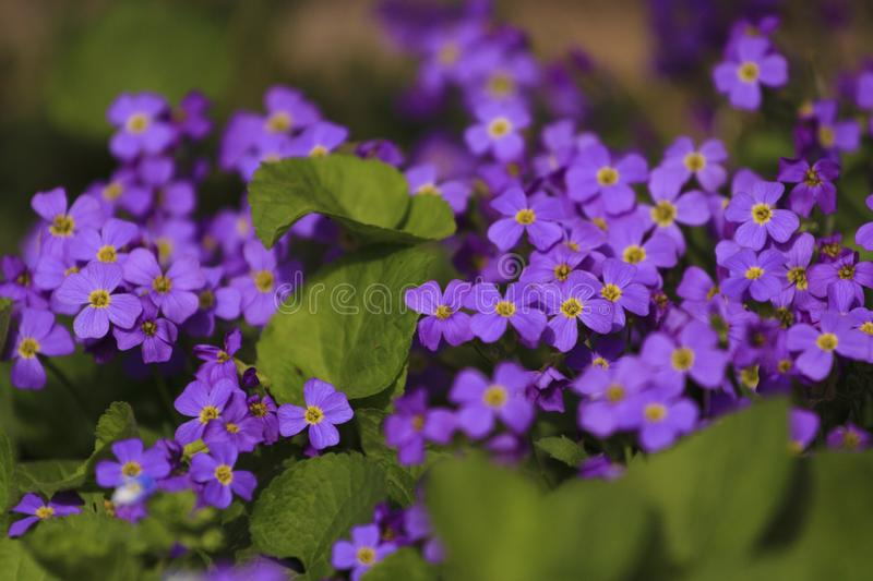 Flower`s bouchet at the sunday. Close-up the violet flower born in my garden in the spring season royalty free stock photo