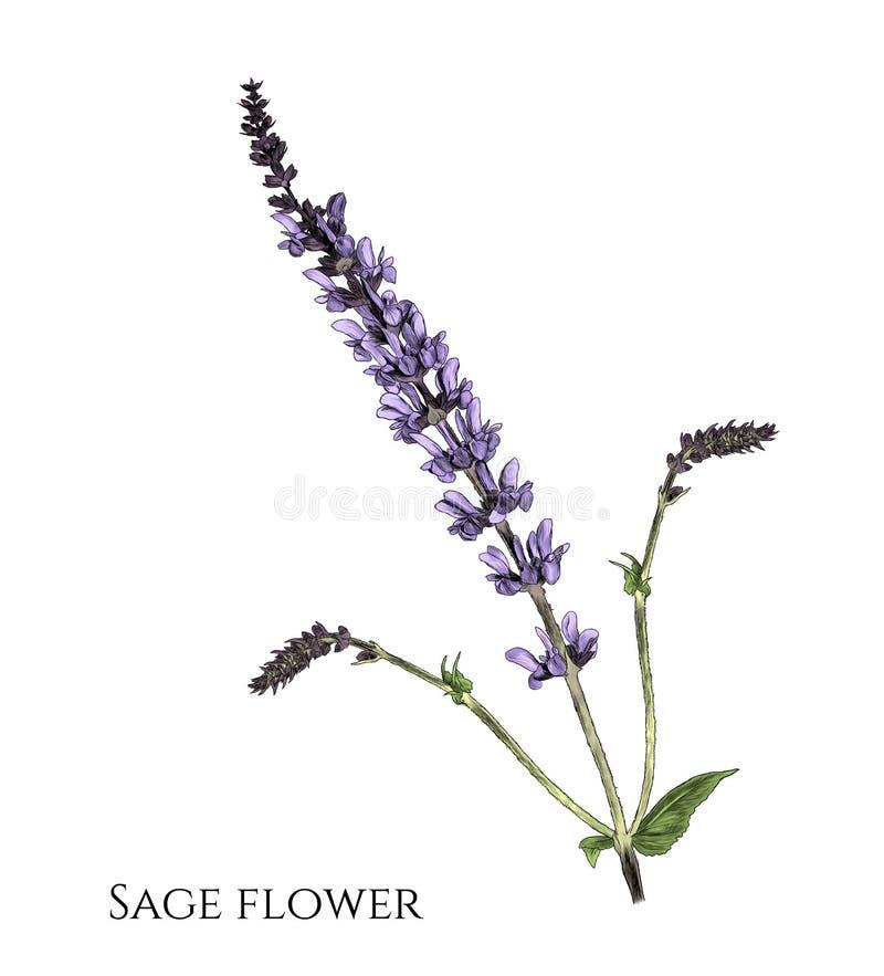 Flower sage branch with appendages stock illustration