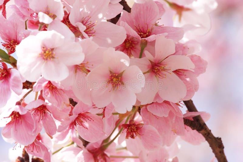 Flower Sakura. Beautiful Pink sakura flower show details royalty free stock image