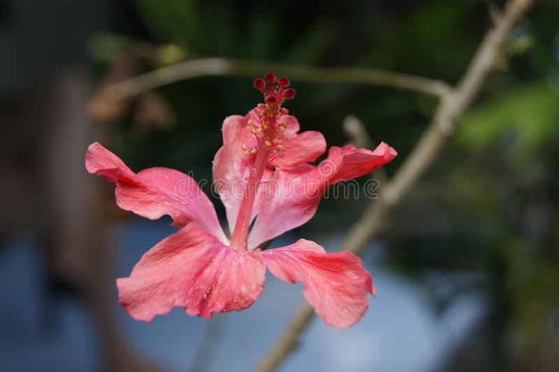 Salmon Hibiscus royalty free stock photography