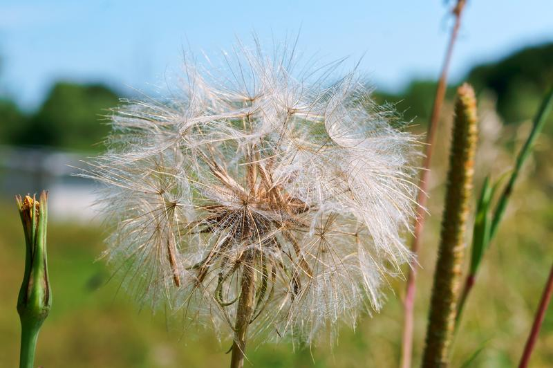 The flower of salsify, Tragopogon, big fluffy dandelion. Big fluffy dandelion, the flower of salsify, Tragopogon royalty free stock images